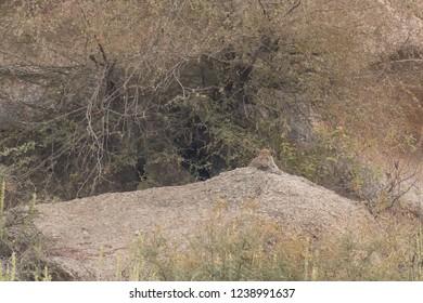 Leopard (Panthera pardus fusca) - Resting Up