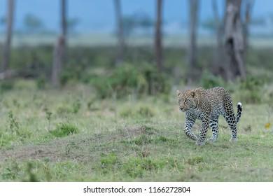 Leopard (Panthera pardus pardus) - Looking for Dinner