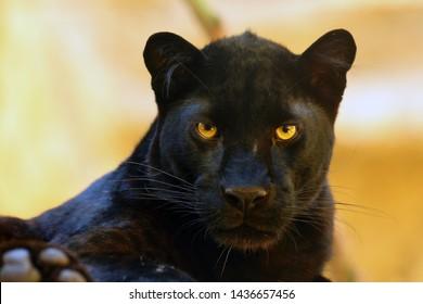 The leopard (Panthera pardus) portrait. Melanistic leopard are also called black panther.