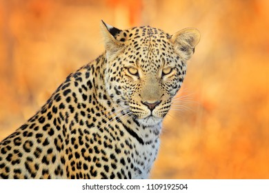 Leopard, Panthera pardus shortidgei, face portrait in the nice yellow grass. Big wild cat in the nature habitat, Hwange NP, Zimbabwe. Wildlife scene form African nature, spotted cat.