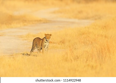 Leopard, Panthera pardus shortidgei, hidden portrait in the nice yellow grass. Big wild cat in the nature habitat, Hwange NP, Zimbabwe. Wildlife scene form Africa nature. Spotted cat on the maedow.