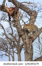 Leopard, Panthera pardus, standing in a tree with its kill, an impala, Aepyceros melampus,  lodged in the upper branches.