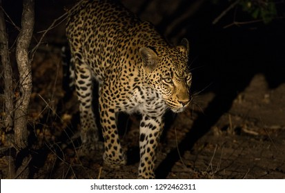 Leopard, Panthera pardus, walking after dark.