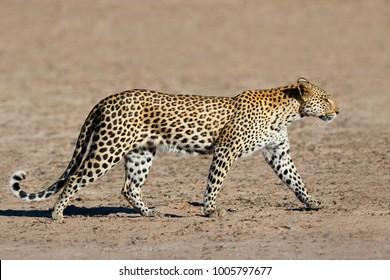 Leopard (Panthera pardus) walking, Kalahari desert, South Africa