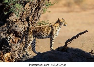 Leopard (Panthera pardus) watching from a tree, Kalahari desert, South Africa