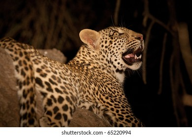 A leopard photographed in a tree after dark