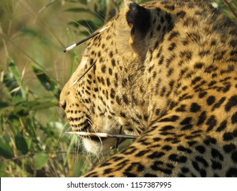 Leopard with porcupine quills in his face