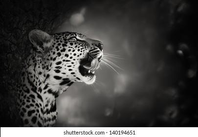 Leopard Portrait (Artistic processing) - Kruger National Park - South Africa