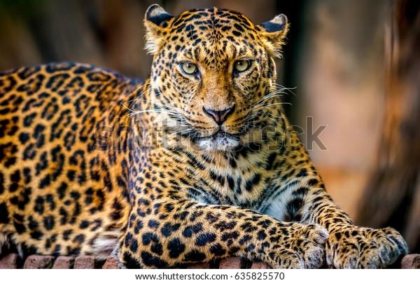 Leopard portrait. Jungle wildlife animals