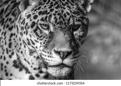 Leopard portrait, Panthera Pardus, bold contast in black and white