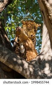 Leopard with its prey in tree. Adult leopard eats killed impala.