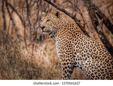 Leopard in the rain in Kruger National Park South Africa