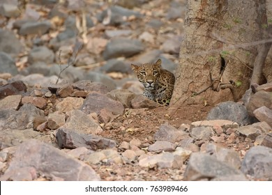 Leopard resting and hiding behind Tree in Ranthambore tiger reserve