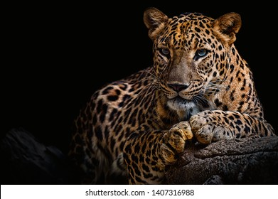 Leopard resting on a log against a black background