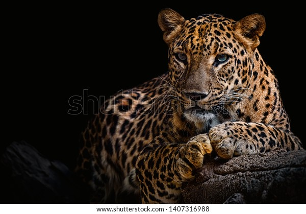 Leopard resting on a log against a black background