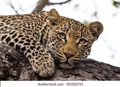 Leopard resting in a tree