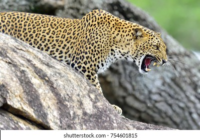 Leopard roaring. Leopard on a stone. The Sri Lankan leopard (Panthera pardus kotiya) female.