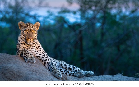 Leopard scans the savannah for prey from a vantage point at dusk in the Greater Kruger National Park - South Africa