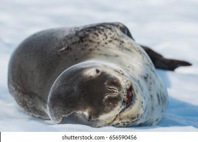 Leopard seal on ice floe in Antarctica