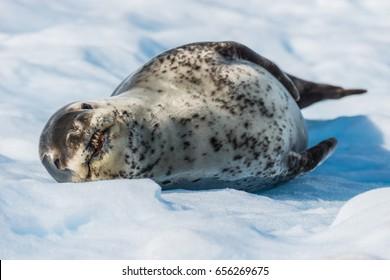 Leopard seal on ice flow in Antarctica