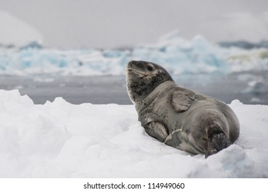 Leopard seal on the iceberg in Antarctica.
