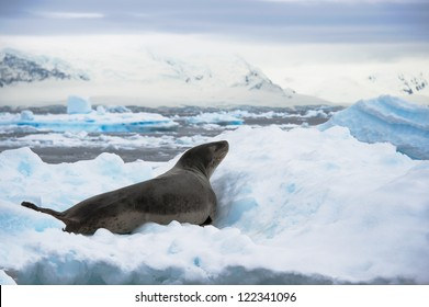 Leopard seal resting on the iceberg in Antarctica