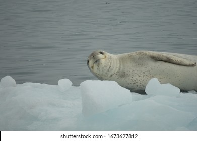 A leopard seal smiling at the camera