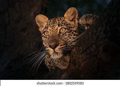 A Leopard seen on Safari while resting in the branches of a tree
