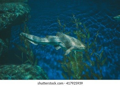 Leopard Shark also known as Zebra Shark swimming in the deep sea.