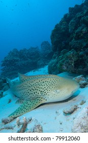 Leopard Shark relaxing in the Sand, in the Andaman Sea, Thailand.