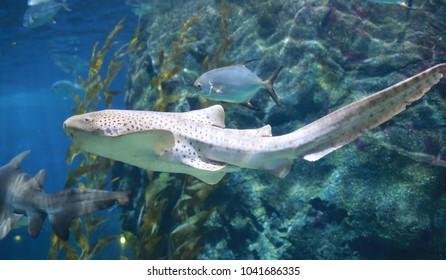 Leopard Shark (Zebra Shark) swimming in blue water.