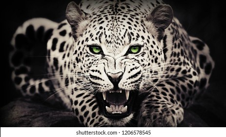 Leopard with sharp green eyes