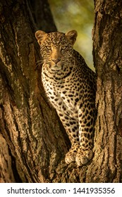 A leopard sits in the forked trunk of a tree. It has a brown, spotted coat and is looking straight at the camera.