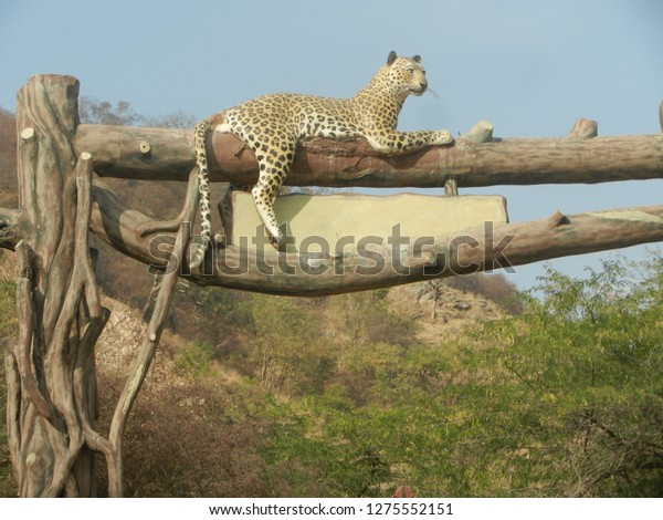 leopard sitting on a branch above with clear sky background