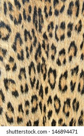 Leopard Skin - Real skin and pattern from Wild Africa, photographed in Namibia - Unique background of golden spots and rosettes.