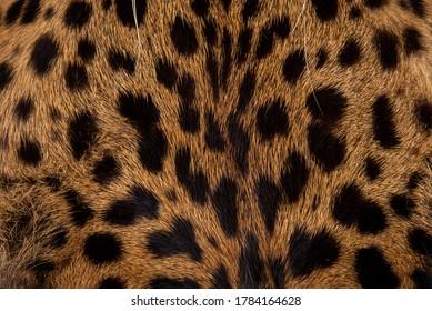 Leopard skin texture : Close-up leopard spot pattern texture background.