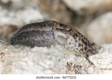 Leopard slug (Limax maxius) crawling on wood, macro photo with shallow depth of field, focus on the closest eye