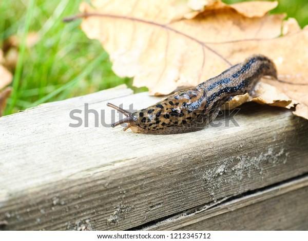 Leopard slug on wood and oak leaf at autumn