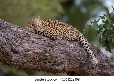 Leopard in the South Luangwa NP, Zambia