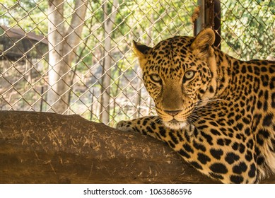 Leopard is species in the genus Panthera occurs in a wide range in sub-Saharan Africa and parts of Asia. They are hunted illegally, and their body parts are smuggled in the wildlife trade for medicina