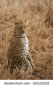 Leopard standing on hind Legs