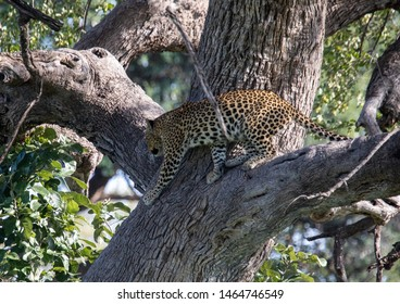 A Leopard is standing in a tree of the Bwabwata Nationalpark at Namibia during summer