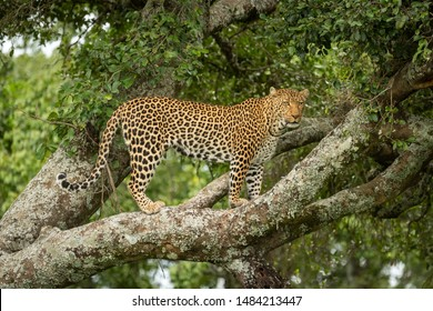 Leopard stands on lichen-covered branch facing right