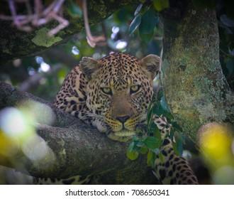 Leopard staring at camera in tree - Masai Mara