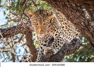 Leopard starring in a tree in the Kruger National Park, South Africa.