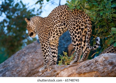 A leopard stretching after a long rest in a tree