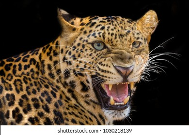 Leopard threatens roaring isolated on black background.