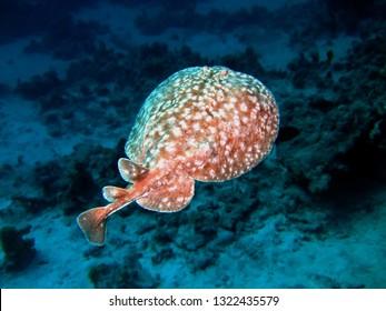 Leopard torpedo ray. (Torpedo panthera)