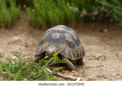 Leopard Tortoise, Addo Elephant National Park, Eastern Cape, South Africa