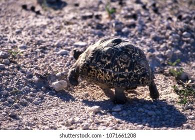 leopard tortoise (geochelone pardalis) etosha national park, namibia, africa